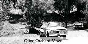 moving the olive orchard